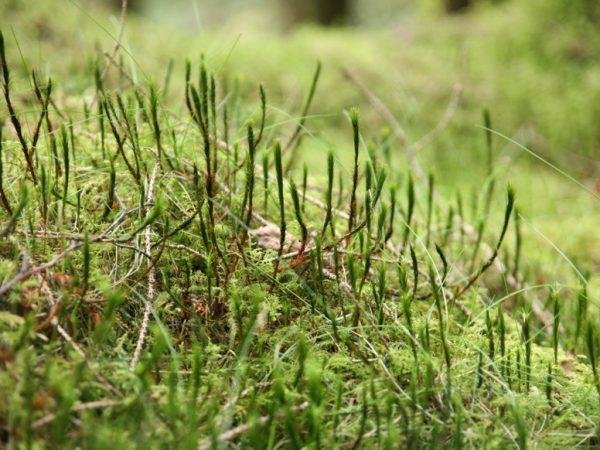 Mos i græsplænen kan være en kamp